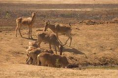 Antilopen die in de wildernis worden bevlekt royalty-vrije stock fotografie