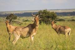 Antilopen die in de wildernis worden bevlekt stock afbeelding