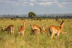 Antilopen die in de wildernis worden bevlekt royalty-vrije stock foto
