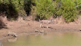 Antilopen die door het water drinken stock footage