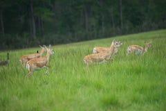 Antilopen-Herde Lizenzfreie Stockfotos