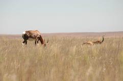 Antilopen in Südafrika Stockfotos