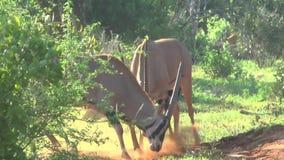 Antilopen in Savannah Safari in Kenia stock videobeelden