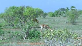 Antilopen in Savannah Safari in Kenia stock footage