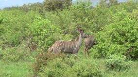 Antilopen in Savannah Safari in Kenia stock video