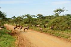 Antilopen Topi in Serengeti, Tanzania Royalty-vrije Stock Foto