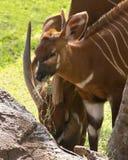 Antilopenbissen lizenzfreie stockfotografie