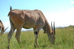 Antilopenessen lizenzfreie stockfotos