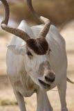 Antilopenessen Stockfotos