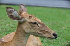 Antilopenrotwild geschlossen oben auf grünem Hintergrund Lizenzfreies Stockbild