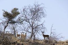 Antilopes άγρυπνο σε έναν λόφο Στοκ Εικόνες