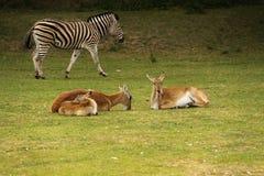 Antilopes και με ραβδώσεις Στοκ φωτογραφίες με δικαίωμα ελεύθερης χρήσης