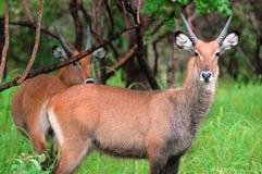 Antilopes στο πάρκο Niokolo Koba στη Σενεγάλη, Αφρική Στοκ εικόνα με δικαίωμα ελεύθερης χρήσης