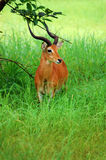 Antilopes στο πάρκο Niokolo Koba στη Σενεγάλη, Αφρική Στοκ εικόνες με δικαίωμα ελεύθερης χρήσης