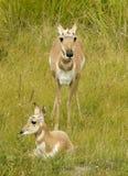 Antilopes Photographie stock libre de droits