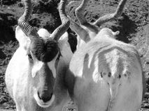 antilopes Images stock