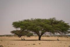 Antilopes all'ombra dell'albero immagini stock libere da diritti