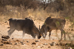 Antilopes d'Eland Photos libres de droits