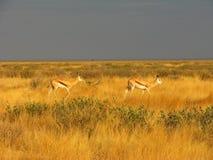 Antilopes d'Impala restant latérales en fonction dans la longue herbe Photos libres de droits