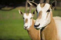 Antilopes d'Oryx Photographie stock