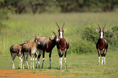 Antilopes de Bontebok Images stock