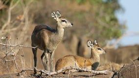 Antilopes de Klipspringer dans l'habitat naturel banque de vidéos