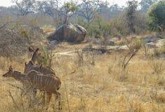Antilopes de Kudu en parc national de Kruger photographie stock