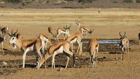 Antilopes de springbok à un point d'eau banque de vidéos