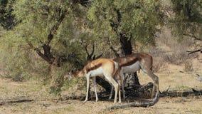 Antilopes de springbok alimentant sur un arbre clips vidéos