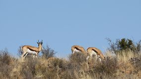 Antilopes de springbok dans l'habitat naturel clips vidéos