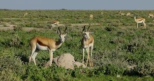 Antilopes de springbok sur des plaines d'Etosha clips vidéos