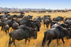 Antilopes de Wildebeest dans la savane Photographie stock libre de droits