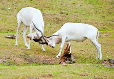 antilopes deux Photo stock