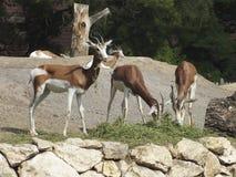 Antilopes en un parque zoológico Fotos de archivo