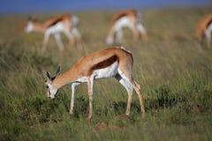 antilopes frôlant le springbok Photos libres de droits