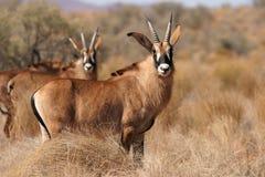 Antilopes Roan Photographie stock libre de droits