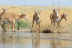 Antilopes sauvages de Saiga près de l'endroit d'arrosage dans la steppe Photographie stock
