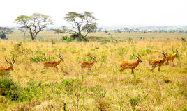 Antilopes in savanna. In Kenya Stock Photo