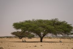 Antilopes in the shadow of the tree royalty free stock images
