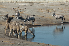 Antilopes sur le trou de whater Image libre de droits