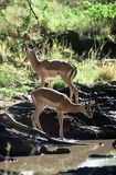 Antilopes, Tanzanie Photo libre de droits