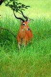 Antilopes w Niokolo Koba parku w Senegal, Afryka Obrazy Royalty Free