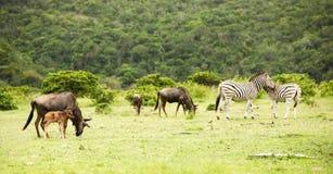 antilopes zebras Στοκ εικόνες με δικαίωμα ελεύθερης χρήσης