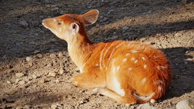 Antilopesitatunga het liggen stock footage