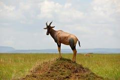 AntilopeTopi lizenzfreies stockfoto