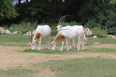 Antilopi stockbild