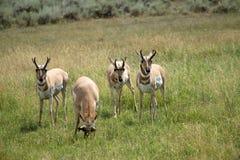 antilopi Fotografie Stock