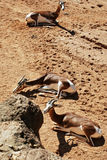 antilopi Immagini Stock