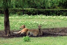 Antilopi che riposano l'un l'altro sotto un albero verde, con le loro parti posteriori Immagine Stock Libera da Diritti