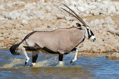 Antilopi del Gemsbok che corrono in acqua Fotografie Stock Libere da Diritti